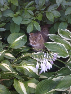 Cat amongst hellebores
