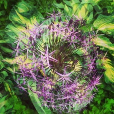 Spinning allium