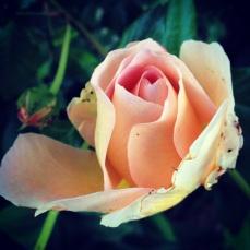 Bug eaten rose