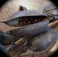 Seeds inside pod.