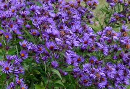Native flowering asters