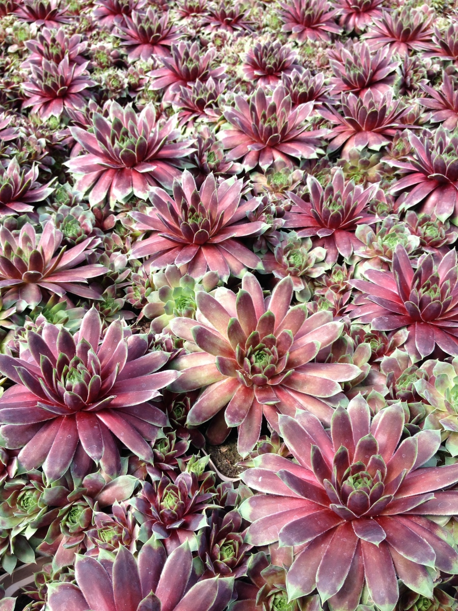 Hens and chicks succulents