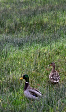 Grass with ducks