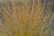 Gold cornus branches