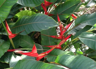 I'm pretty sure this is a Heliconia though it looks more like a flock of scarlet birds in full flight.