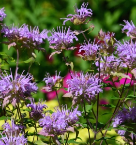 Beebalm uncles