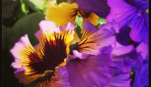 Mixed pansy