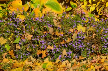 In the fall, I moved my still-blooming Blue Bubbles-filled trough into an empty spot in a spent garden bed. The flowers continued to glow amongst fallen pine needles and maple leaves late in October.