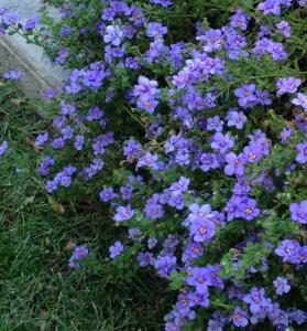 Blue Bubbles in bloom