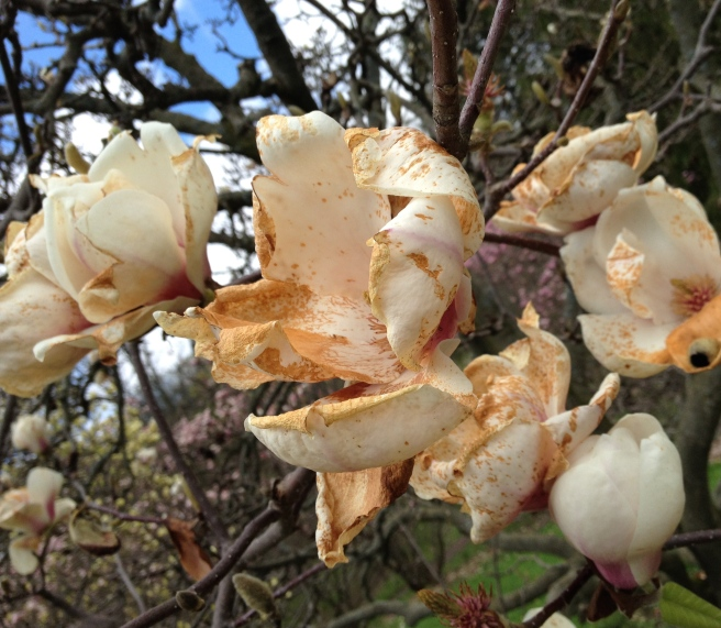 Decaying magnolia
