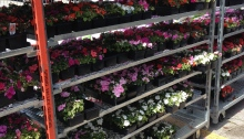 Impatiens on shelves
