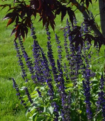 Salvia in September