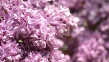 Mauve lilac