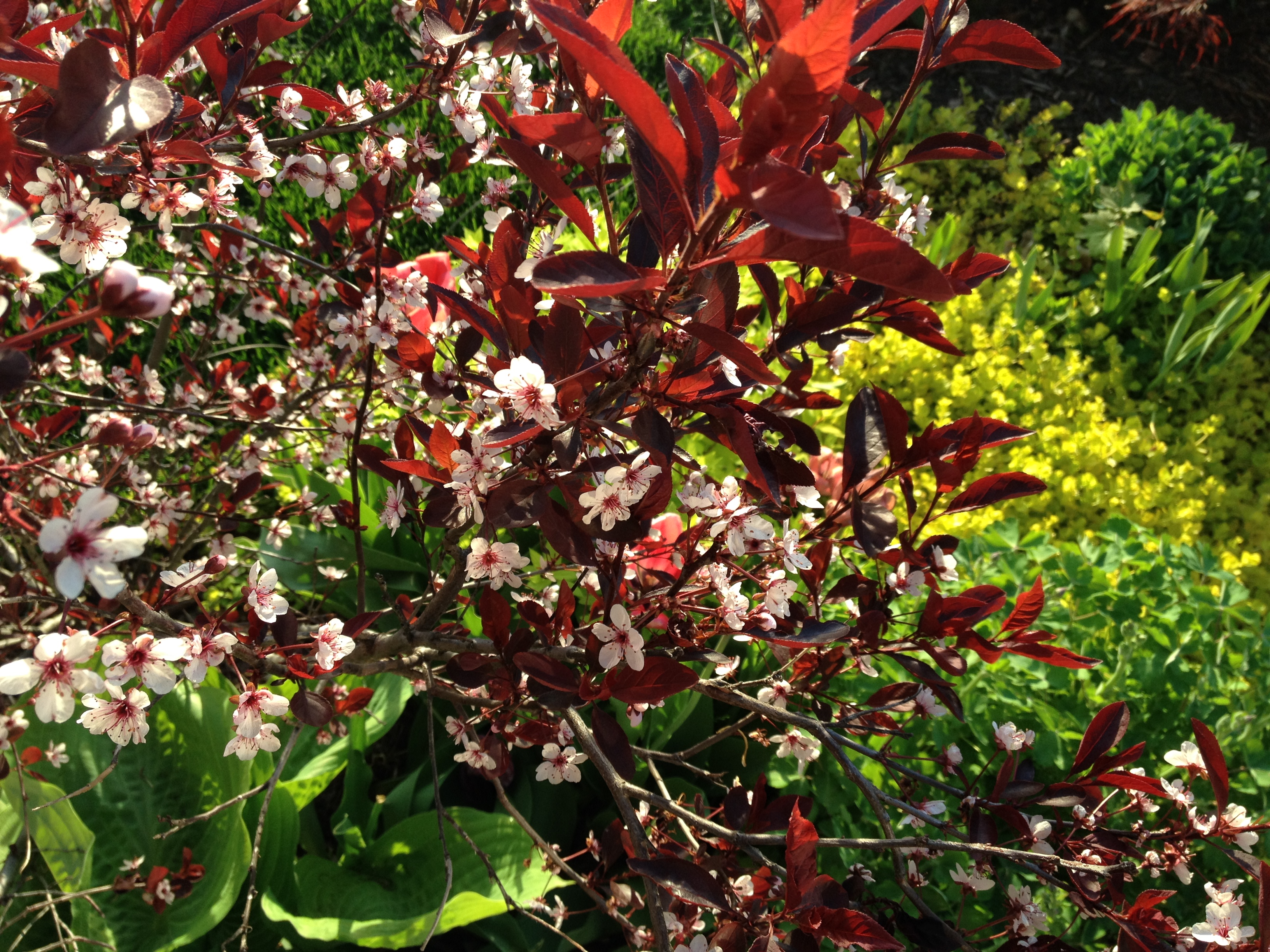 Ministry of the fence Sand Cherry: A country beauty for city gardens