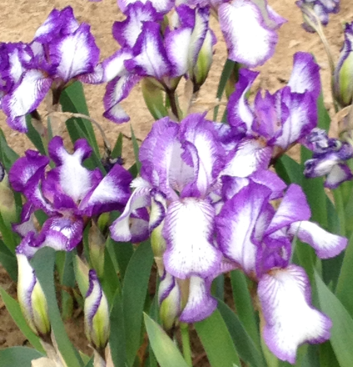 Iris Plicutie