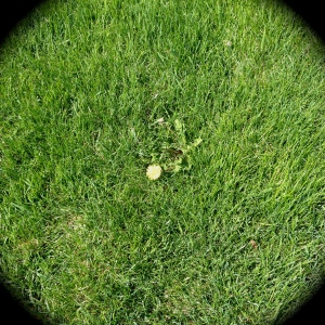 Weed in lawn