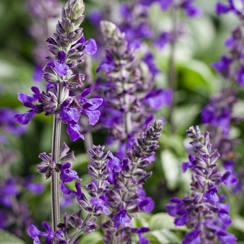 Vibrant blue-purple flowers on long, sturdy spikes make a great counterpoint to hot colours in the summer garden. Photo courtesy of Proven Winners.