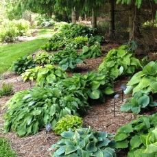 Hosta garden bed