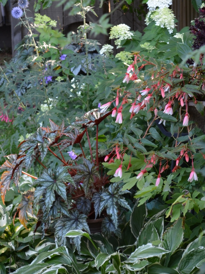 Begonia and fuchsia