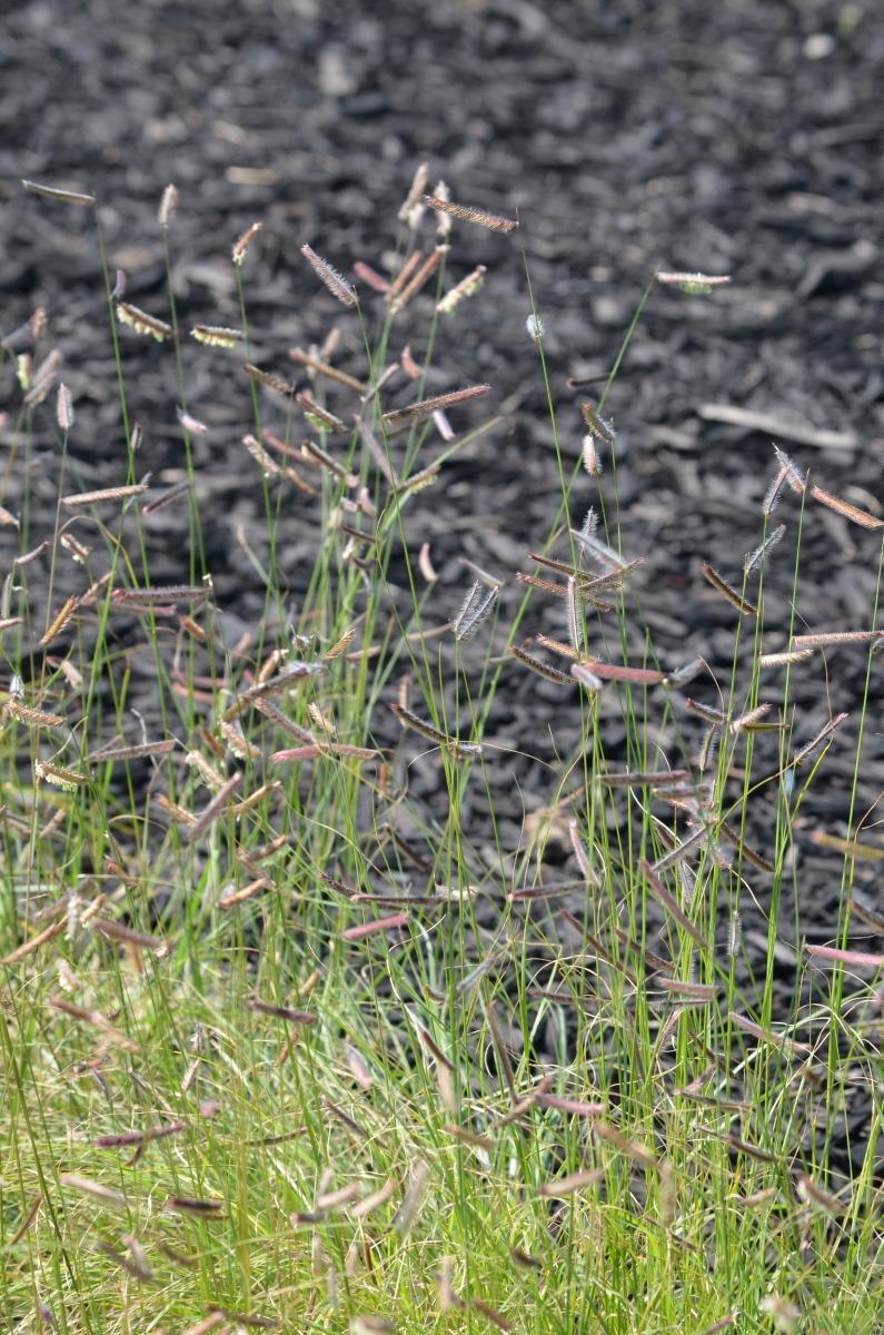 Mosquito Grass