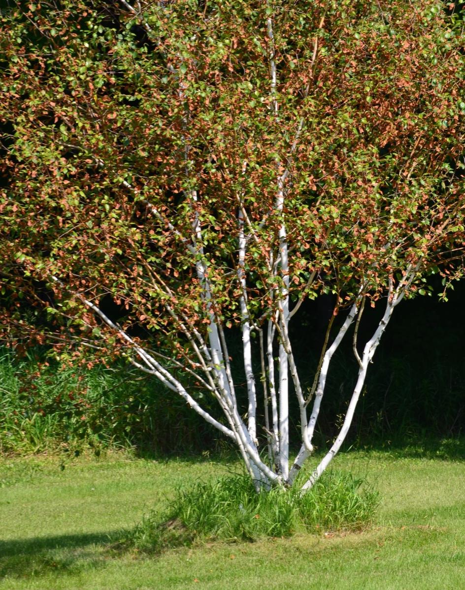 White tree trunks