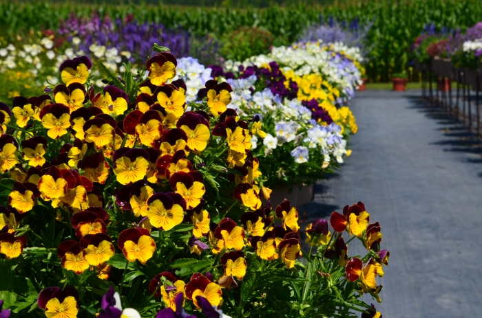 Pansies in summer