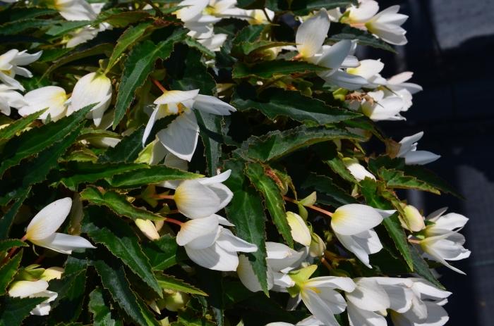 Begonia White