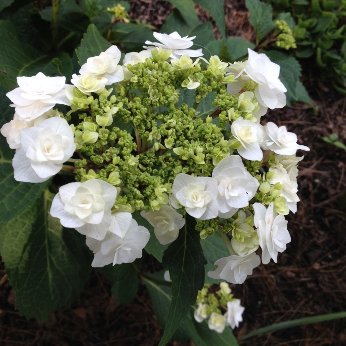 Wedding gown hydrangea