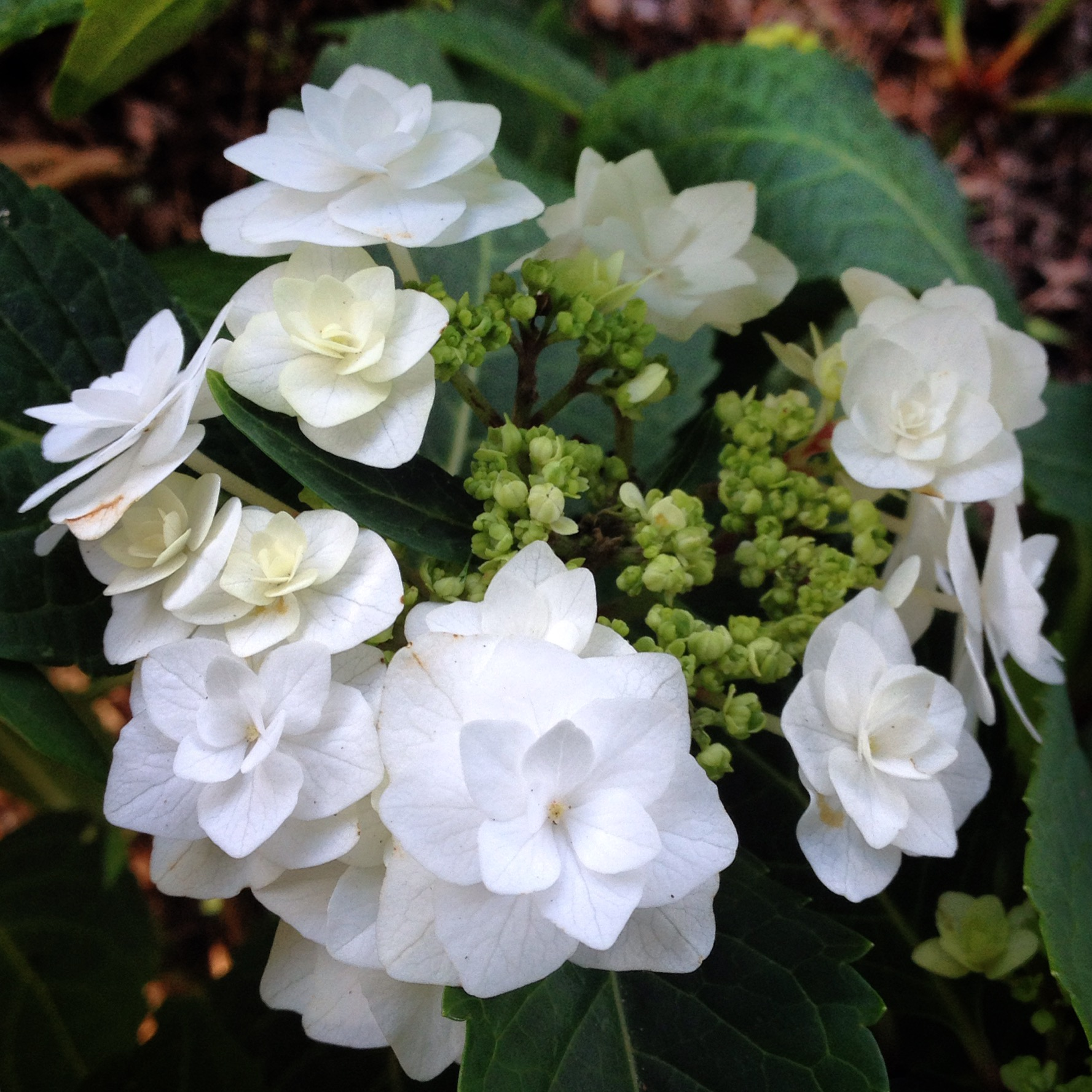 Hydrangea Macrophylla Double Delights Wedding Gown Has Delicate Blooms That Form Ruffles Around The Flower Head