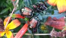 Pests on flowers