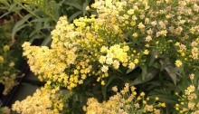Compact goldenrod