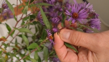 Looking at asters