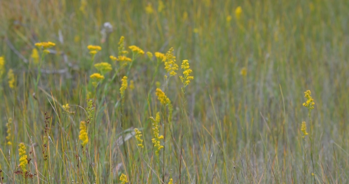 Bog and Ohio Goldenrod