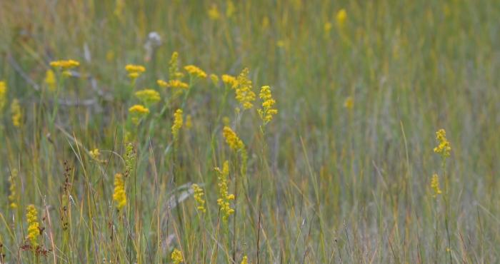 Bog and Ohio Goldenrod