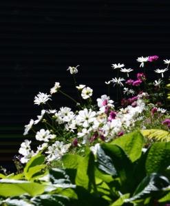 Daisies in sun