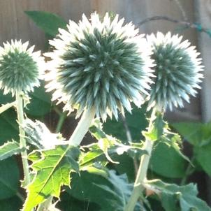 Pre bloom globe thistles
