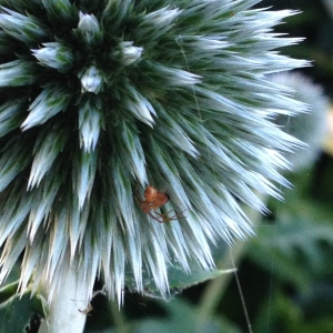 Globe thistle close up