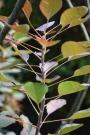Smoketree 3