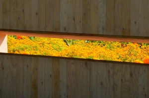 A window is cut into a fence to frame the riotous marigold planting beyond. This was one of several striking installations at the 2014 International xxxx in Reford Gardens, Quebec.