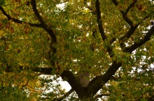 Looking up into the canopy of a Black Oak tree.
