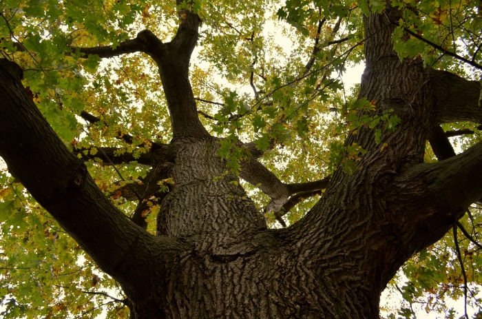Looking up the trunk of a mature Black Oak tree.