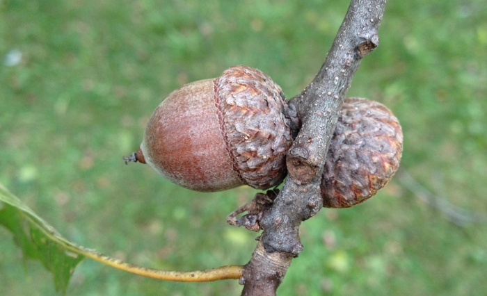 A close-up of red oak acorns.