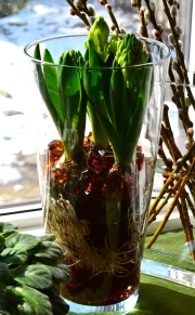 Hyacinth bulbs in glass vase with glass beads.