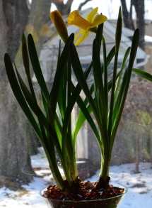 Daffodil bulbs planted in a vase of beads in full bloom.
