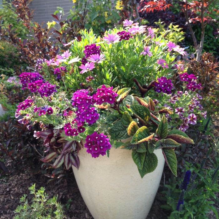 A container planting featuring purple flowers and foliage