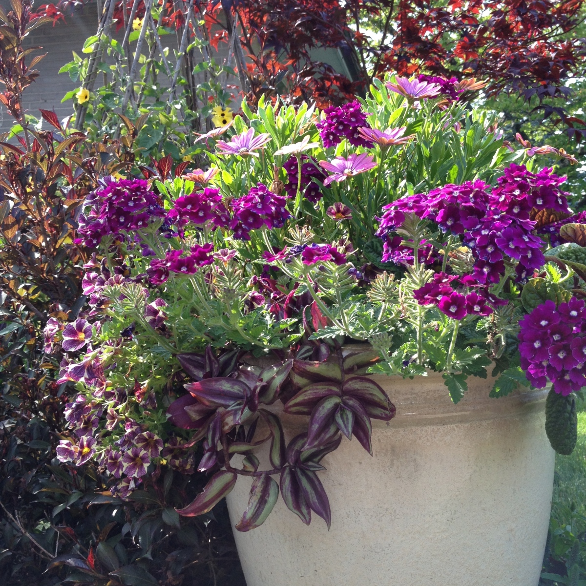A container of purple flowers and foliage at the height of summer.