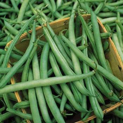Bush beans from Halifax Seeds