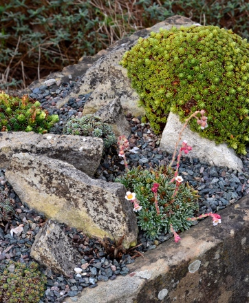 A rectangular trough is planted with alpines.