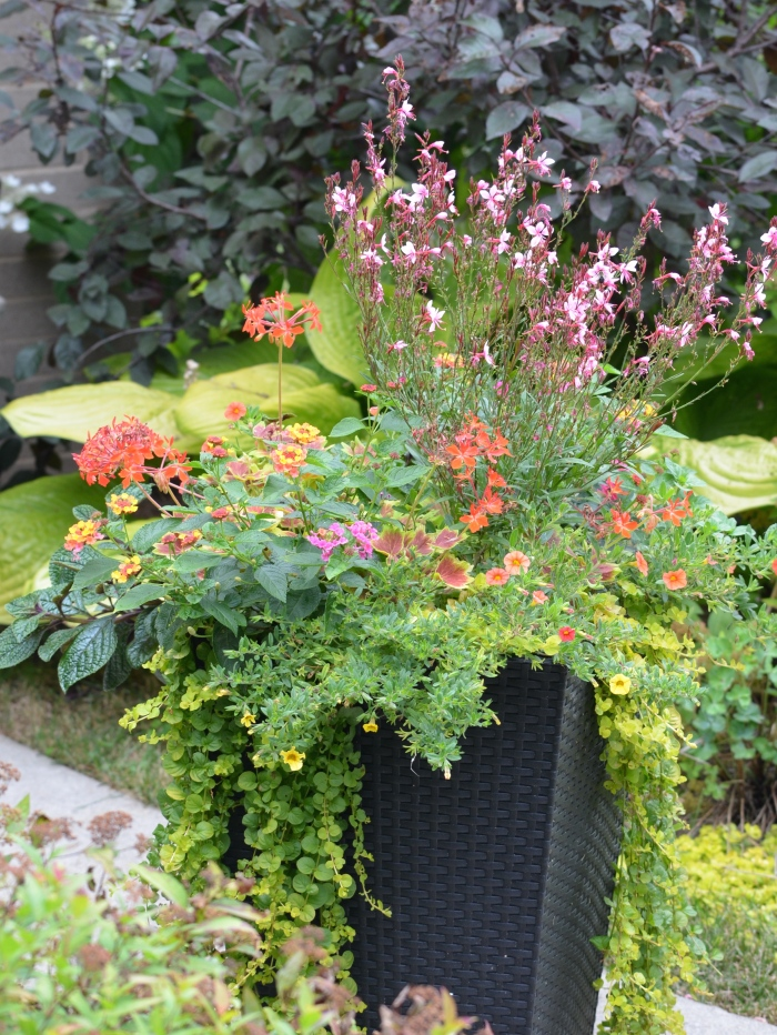 Gaura, Lantana and other bright plants in a container