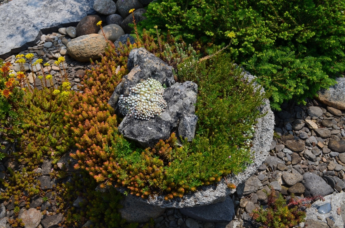 A large rock is a feature of a low container planted with alpines.